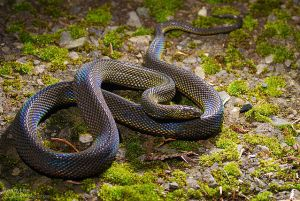 Taiwan burrowing snake