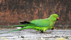 Parrots and Parakeets