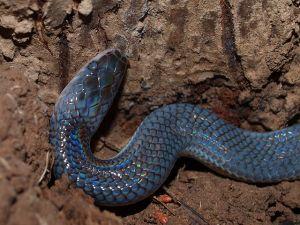 Sunbeam snake