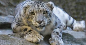 Why Are Snow Leopards Endangered?