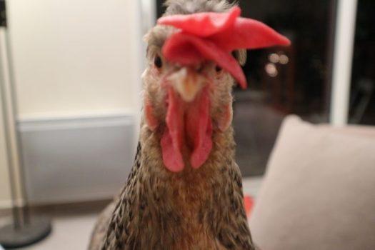 La poule Kalicotte nous regarde droit dans les yeux.