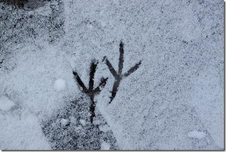 Traces d'oiseau dans la neige