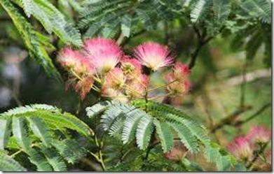 Fleurs d'albizia