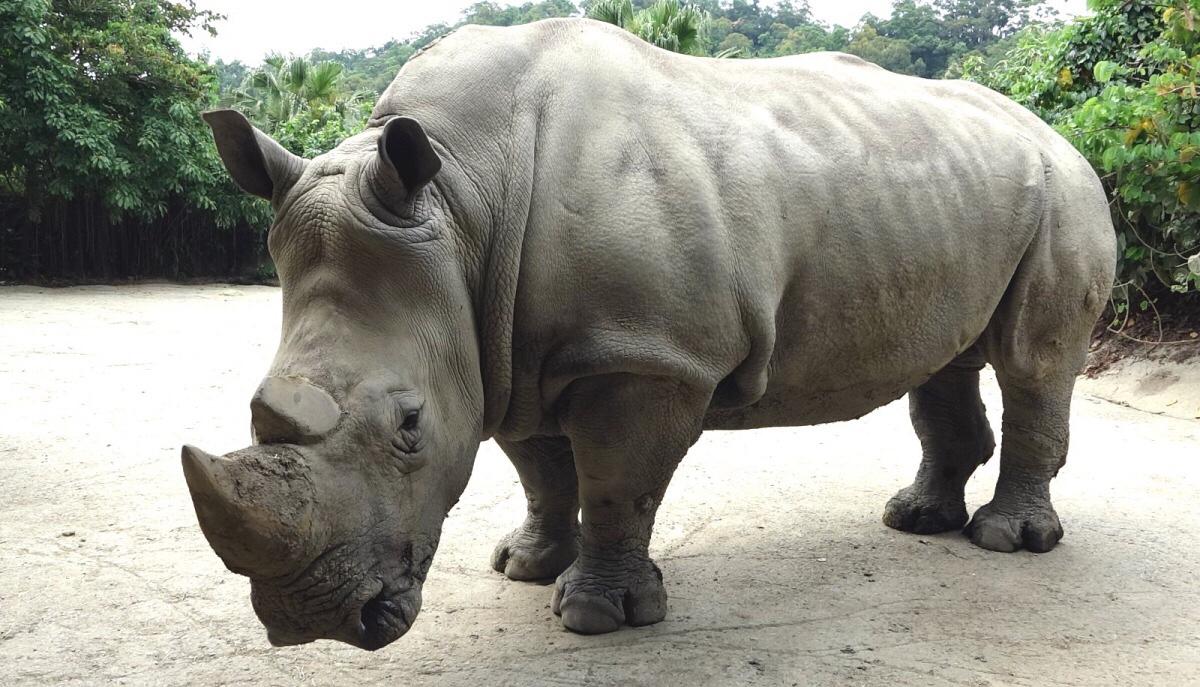 動物訊息— 犀牛 – SSR x 動物溝通從心療癒