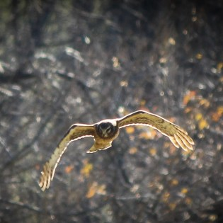 Female Northern Harrier. Males are Slate-Gray. Image Credit: Animal Perspectives.