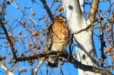 Red-shouldered hawk (Buteo linneatus)
