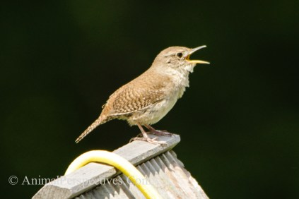 House Wren Perched on Nesting Box. Image Credit: Animal Perspectives.
