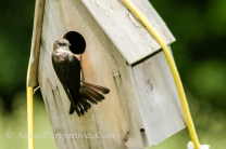 Female Tree Swallow Building a Nest. Image Credit: Animal Perspectives.