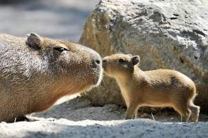 capybara_mother