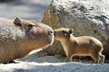 capybara_mother