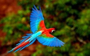 Arara Vermelha em vôo no Mato Grosso do Sul, Brasil (Red Macaw in flight at Mato Grosso do Sul, Brazil)
