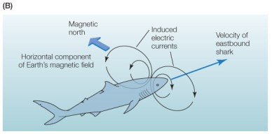 Image result for shark electromagnetic sense
