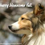 Why cherry blossoms fall.