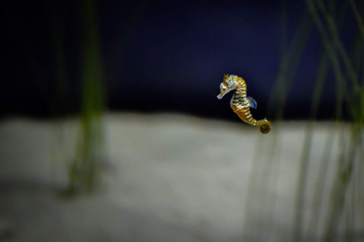 Среда обитания морских коньков. Морской конек: строение и среда обитания животного. Как размножаются морские коньки