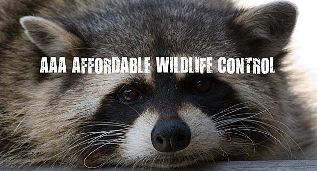 Raccoon Control & Removal Scarborough, Animal Removal Scarborough, Affordable Wildlife Control