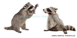 Raccoon Removal Toronto, Animal Removal Toronto