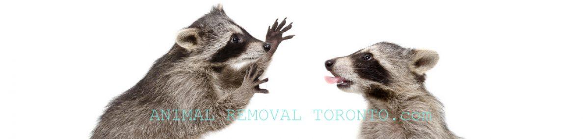 Animal Removal Mississauga, Raccoon Removal Mississauga