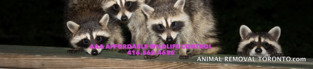 Raccoon Removal Scarborough, Squirrel Removal Scarborough, Affordable Wildlife Removal, High Quality Affordable Pest Control