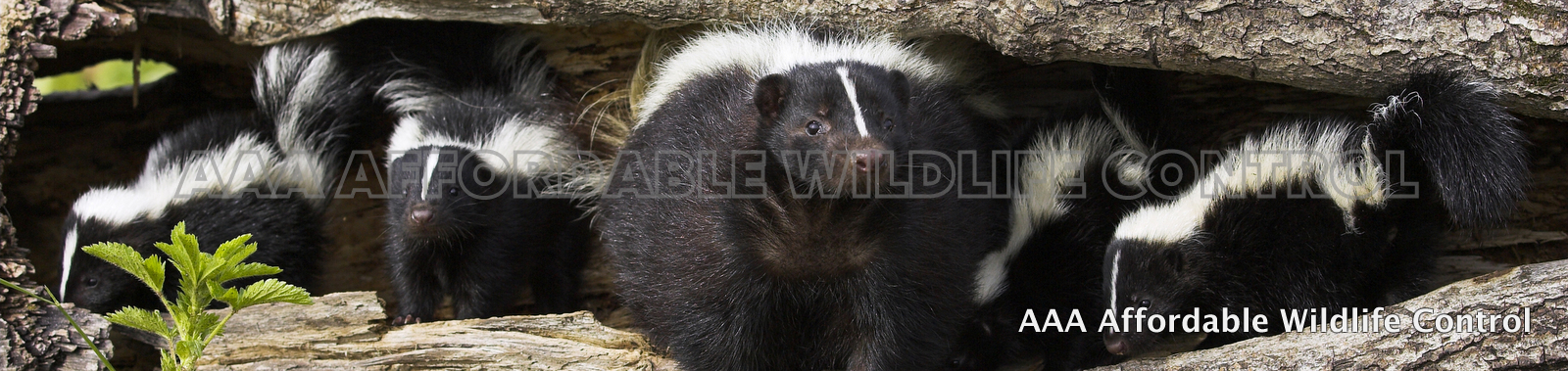 Skunk Control & Removal Service Scarborough