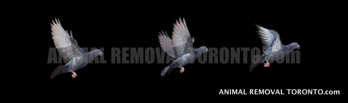 Pigeon Control - 3 Transmittable Diseases Pigeons Carry That Humans Can Get