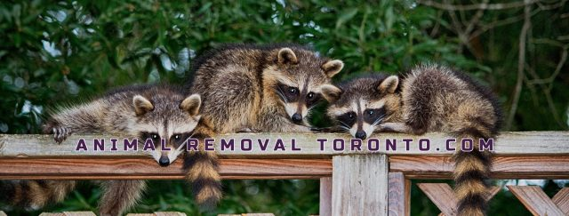 Our Animal Removal Toronto experts can solve all your nuisance skunk, squirrel & raccoon problems using humane extraction methods that are cost-effective & proven to work.