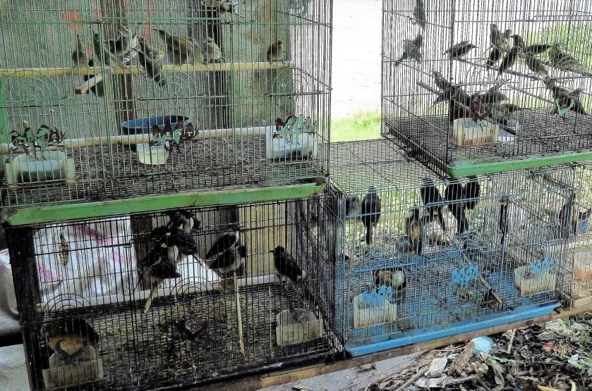 wild bird trade, cruelty to birds, pet bird trade,