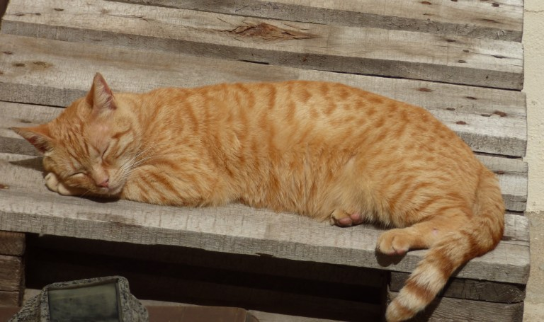 Ginger cat asleep