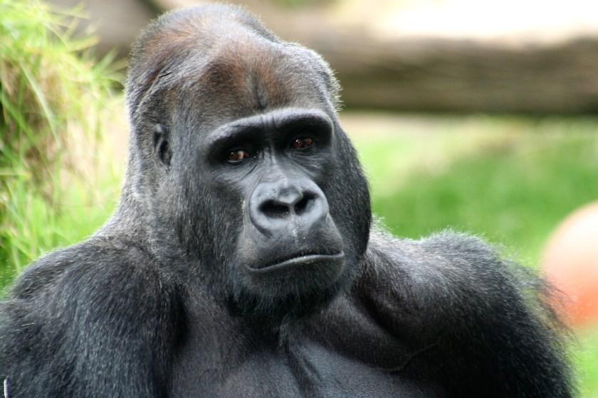 Harambe, Gorilla, death of Harambe