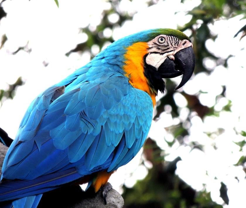macaw, captive