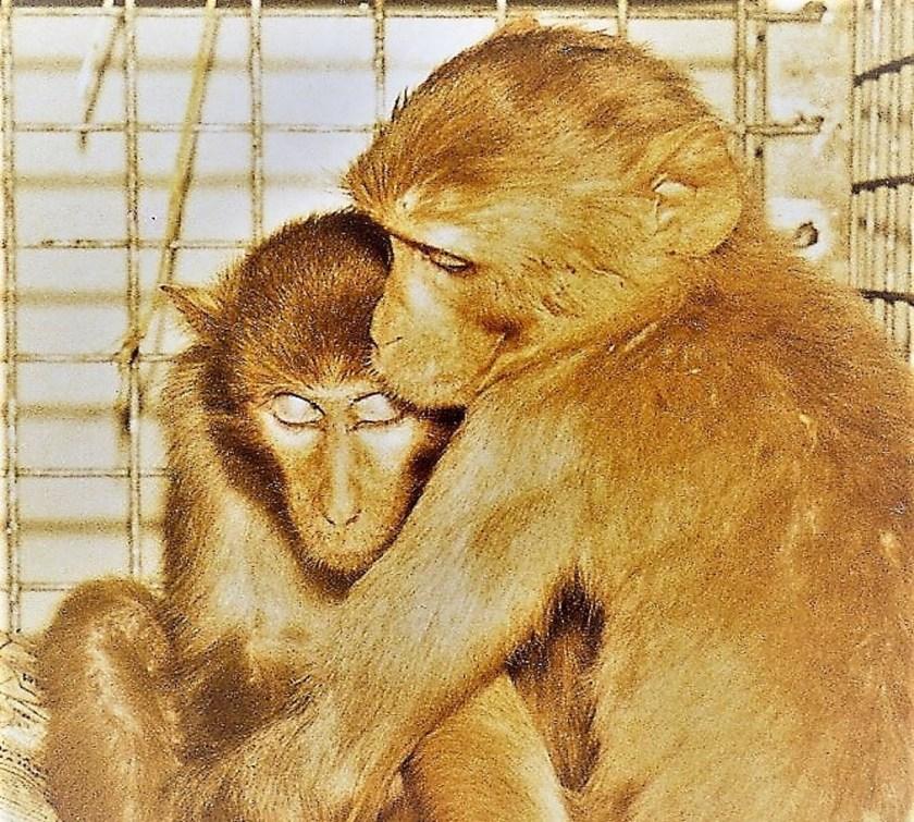 Two sad research monkeys