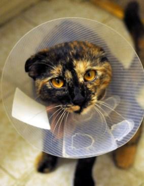 Cat, buster collar, neutering,