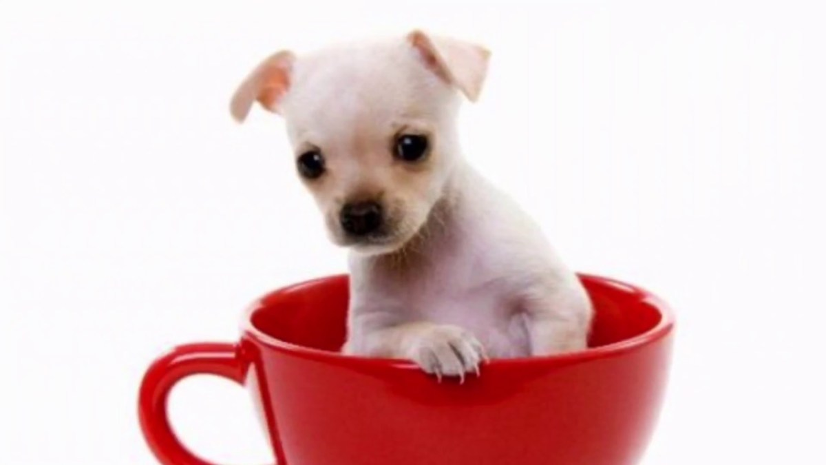 Fads and crazes: pocket pets and teacup dogs – we never learn.