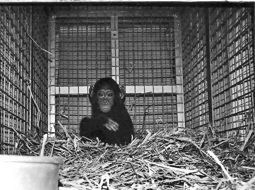 Baby chimpanzee, smuggled chimpanzee, exotic pet trade