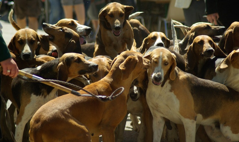 Hunting hounds, fox hunting, cruelty to dogs