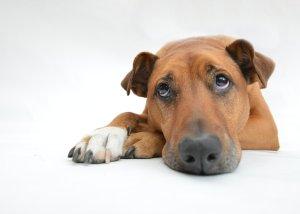 sad dog, depressed dog