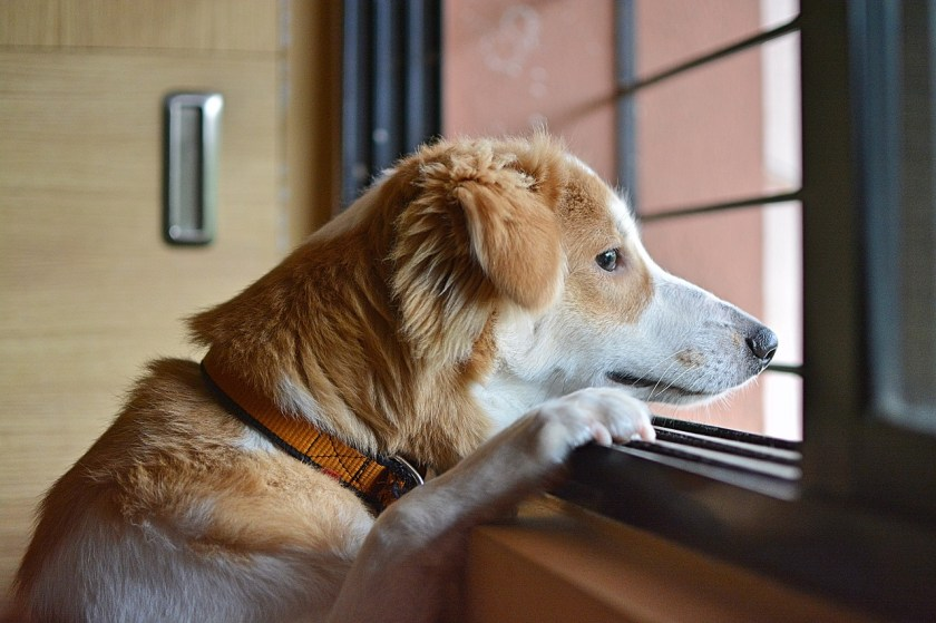 dog looking longingly out of window