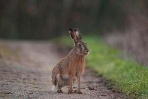 Hunting hares, shooting hares