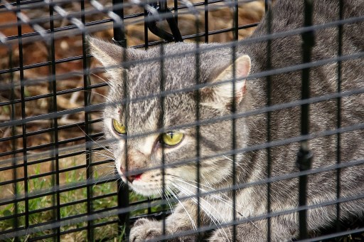 Cat  trapping, feral cats, feral cat colonies