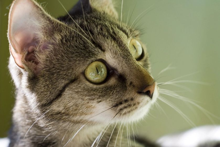 Tabby cat, face