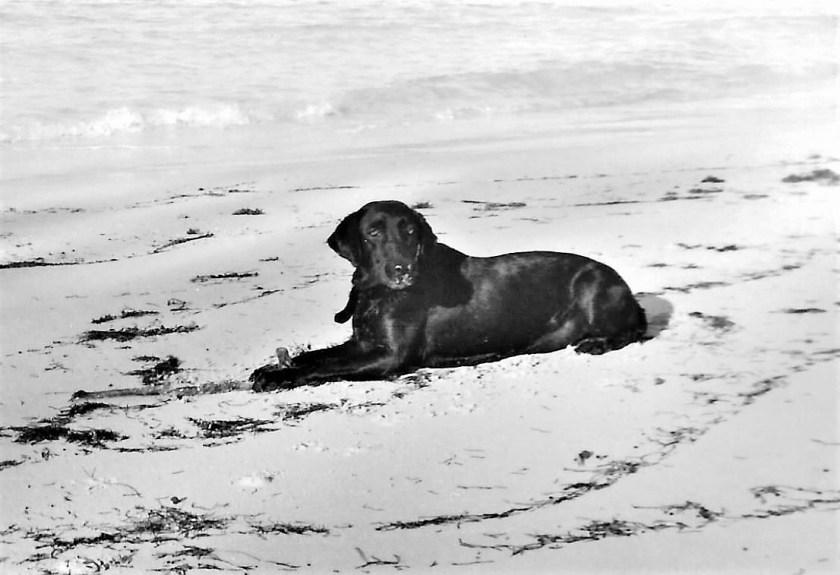 Condor the black Labrador lying on the beach