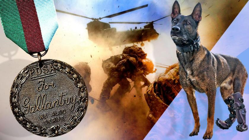 Kuno miliatry dog and Dickens Medal for bravery