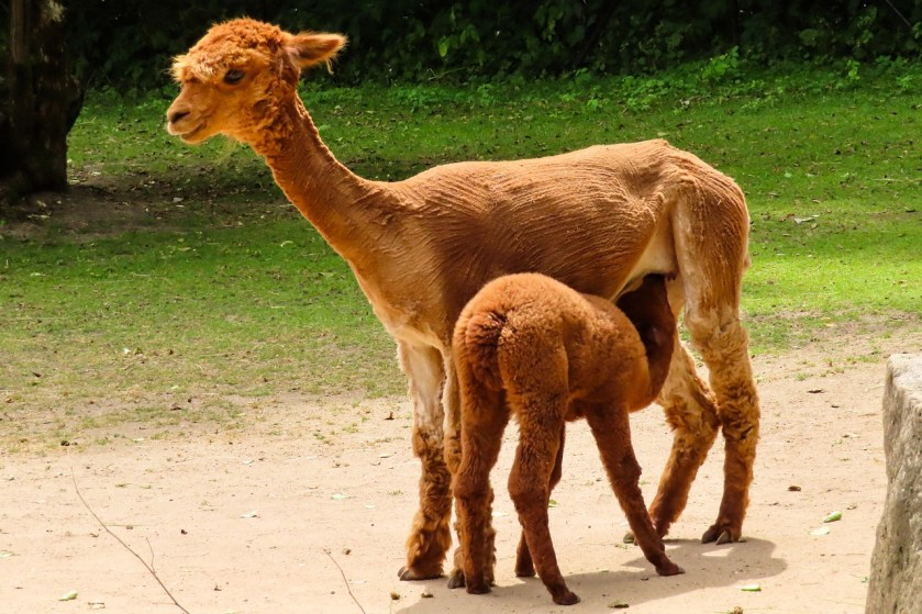 Alpaca with young