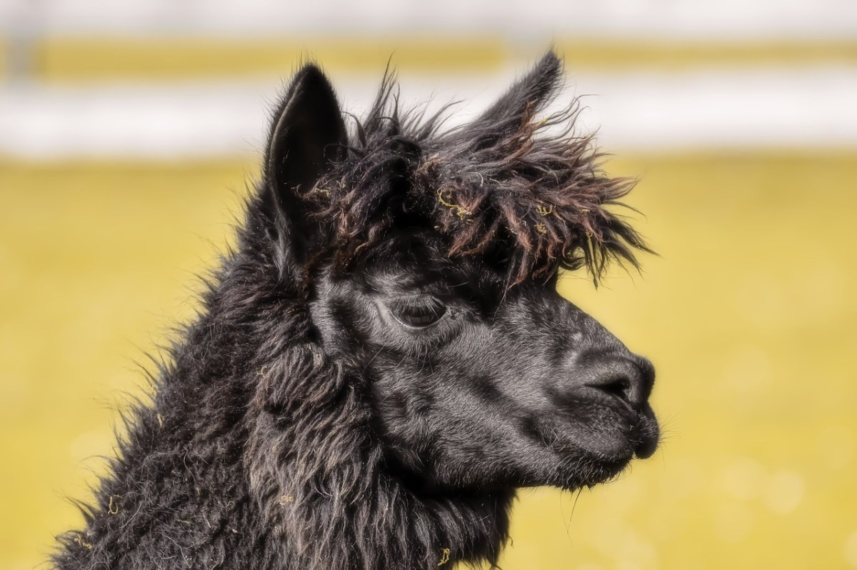 Geronimo the alpaca deserved a more dignified end.