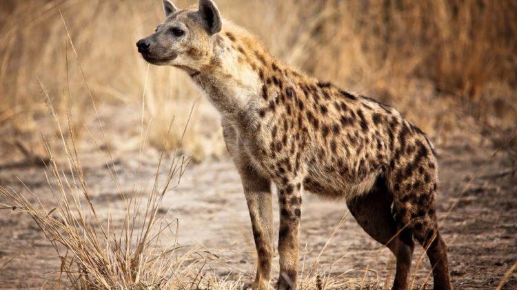 moteriškos hienos varpos