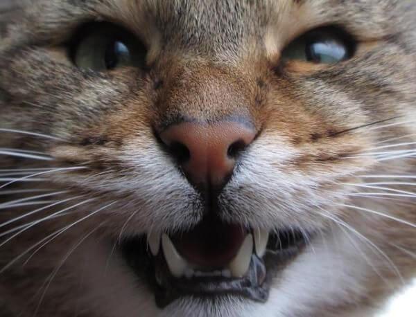Почему кот скрипит зубами