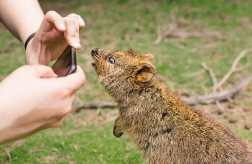 Quokka - Description, Habitat, Image, Diet, and Interesting Facts