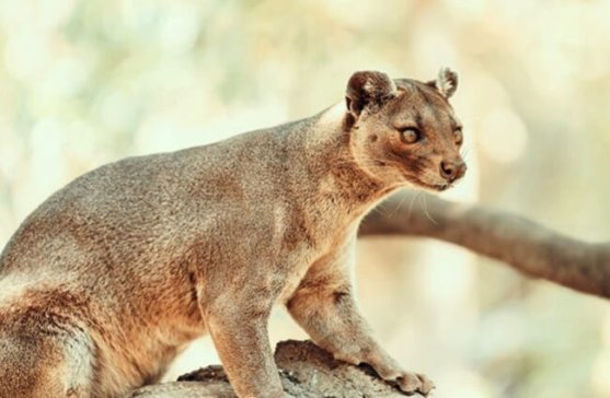 Image result for Fossa