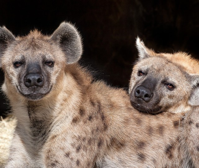 Spotted Hyena Turbo Rests His Head On His Brother Zephyrs Back As They Lay