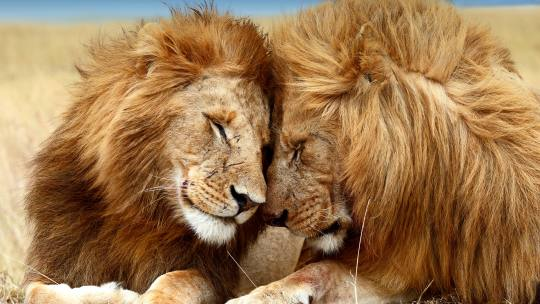 Image result for images of lions