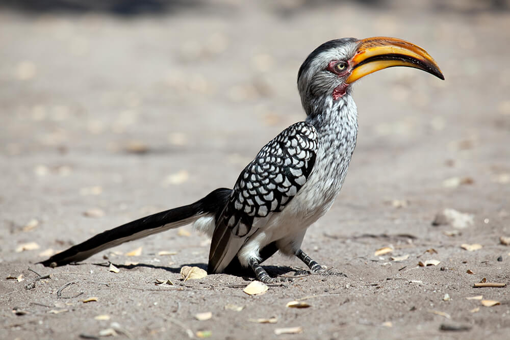 Image result for hornbill